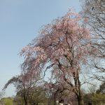 【日記】万博記念公園の桜。